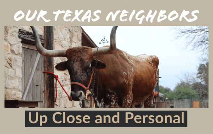 Texas Longhorns up close and personal